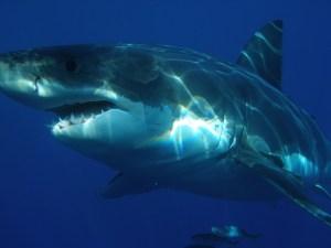 great-white-shark-398276_640