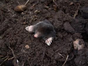 mole-13298_640