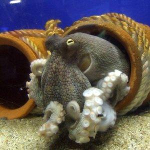 Octopus_vulgaris