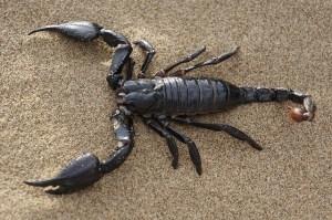 scorpion-651142_640