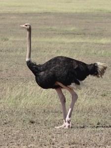 ostrich-341989_640