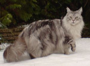 800px-mainecoonsilvertabby