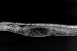 python-breaking-alligator1