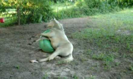 LOL: Potro vs pelota de goma gigante