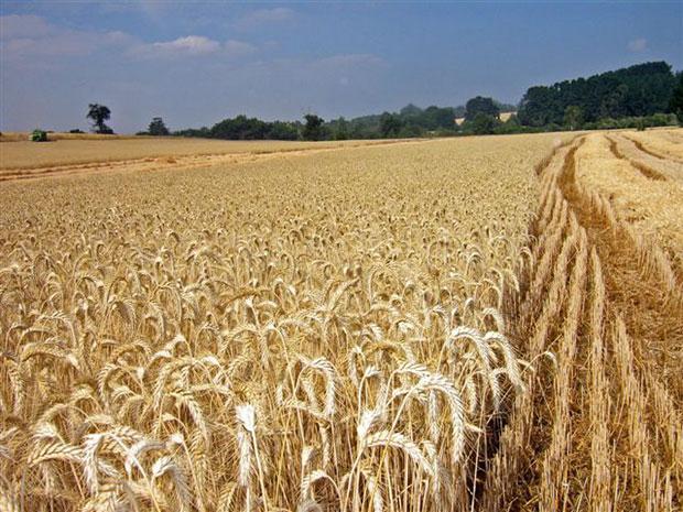 Cereales de agricultura extensiva