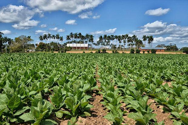 Plantación de tabaco en Cuba