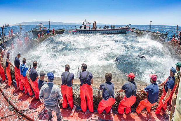 Más de tres mil años pescando atunes en almadrabas en Cádiz
