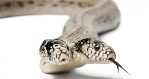 4d00de0240_two-headed-snake-300x209