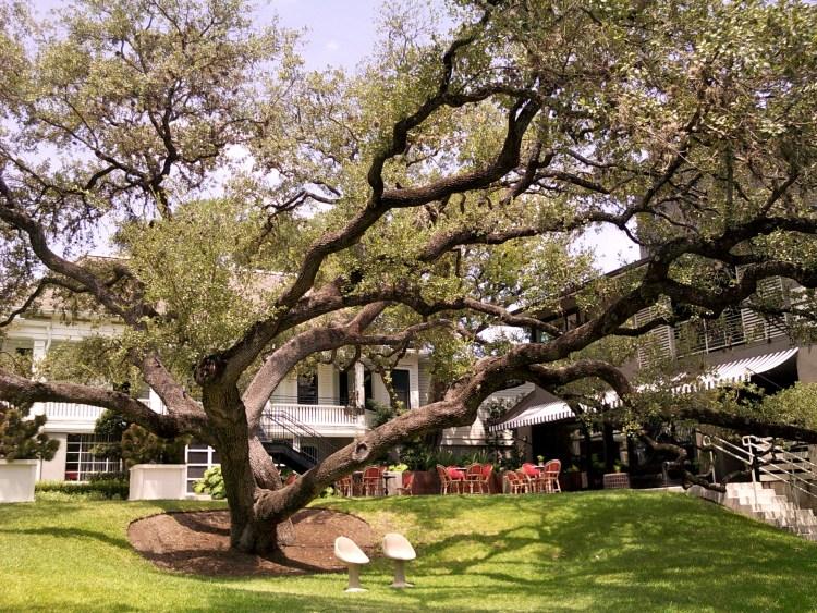 View of the magnificent Oak at Hotel Saint Cecilia Austin Texas