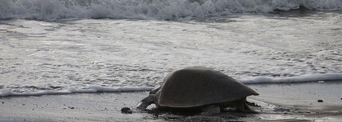 Ostional Turtle Volunteer