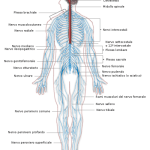 500px-Nervous_system_diagram-it