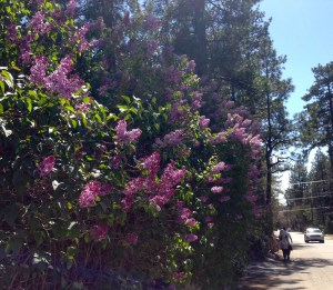 Lilac trees in spring are among the many fragrances of Idyllwild. Photo: Julie Pendray.