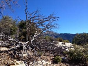Dead Manzanita Suicide Rock trail