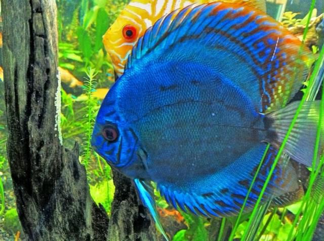 List Of Freshwater Aquarium Fish Species   List Of Freshwater Animals