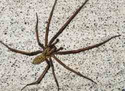 Small Of Giant House Spider