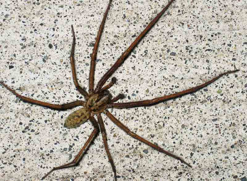 Large Of Giant House Spider