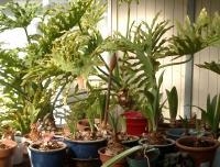 up and coming amaryllis crop