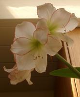 Picotee amaryllis