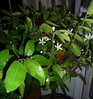 Exotic Evergreens: citrus