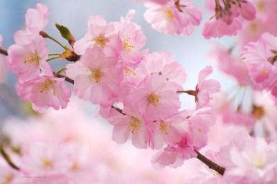 Free Cherry Blossom Wallpapers – Branch Brook Park | SplurgeFrugal.com