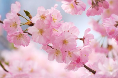 Free Cherry Blossom Wallpapers – Branch Brook Park   SplurgeFrugal.com