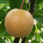 Aliments minceur la poire japonaise