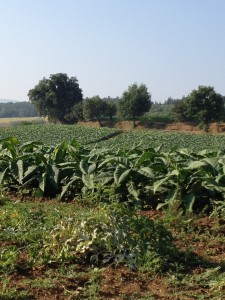 Tobacco Fields near Anghiari