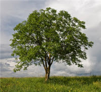 Investing in Walnut Trees? Nuts!