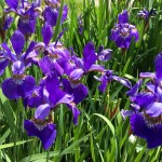Siberian Iris for Swathes of Color
