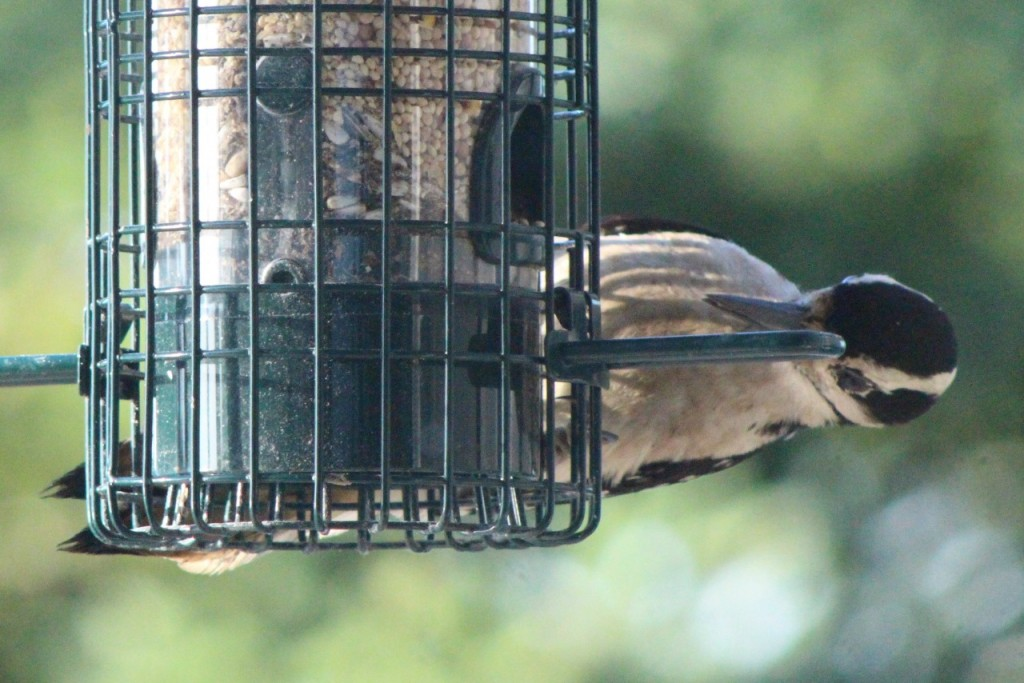 Hairy woodpecker calisthenics