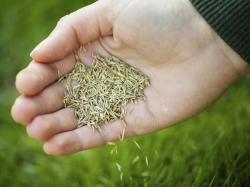Small Of St Augustine Grass Seed