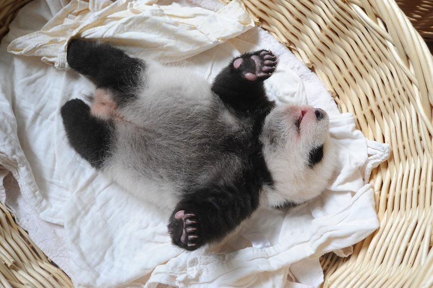 baby-panda-basket-yaan-debut-appearance-china-3