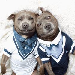 Small Crop Of Cute Pitbull Puppies
