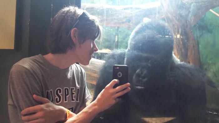 man-smartphone-gorilla-jelani-louisville-zoo-1