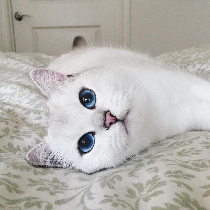 najbardziej piękne-eyes-cat-COBY-brytyjsko-krótkowłosy-14