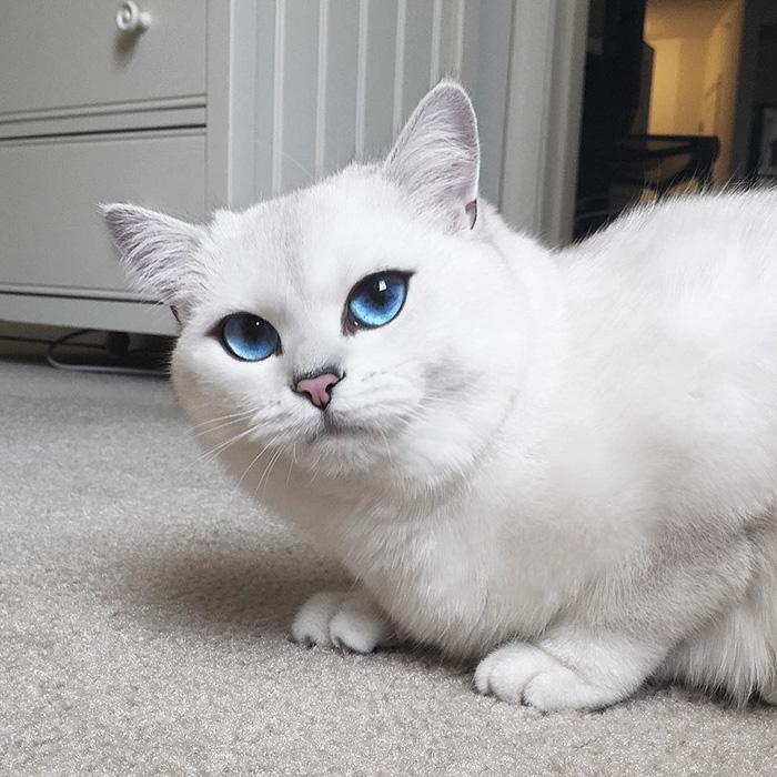 najbardziej piękne-eyes-cat-COBY-brytyjsko-krótkowłosy-37