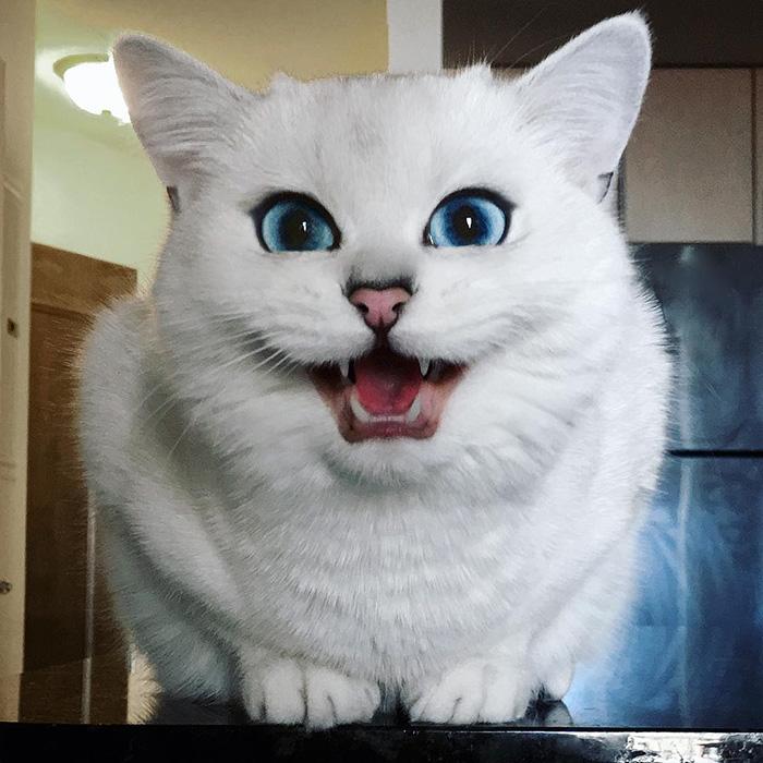 najbardziej piękne-eyes-cat-COBY-brytyjsko-krótkowłosy-46