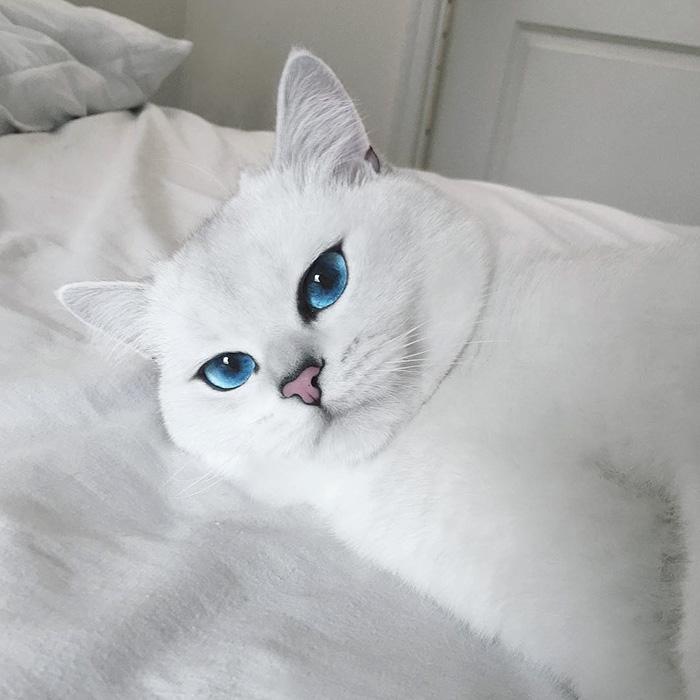 najbardziej piękne-eyes-cat-COBY-brytyjsko-krótkowłosy-5