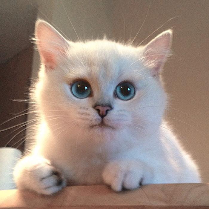 najbardziej piękne-eyes-cat-COBY-brytyjsko-krótkowłosy-51