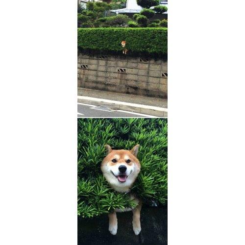 Medium Crop Of Shiba Inu Funny