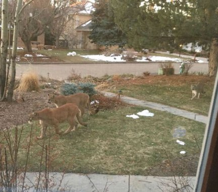 Mountain Lions Roaming The Resident Area