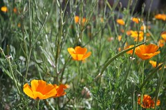 eye level shot, orange poppies