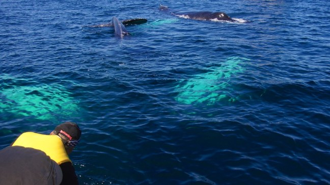 Humpback whales under our boat