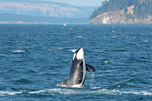 Orca showing off, Vancouver Island