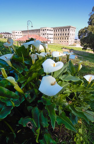 Calla lilies and Fort McDowell barracks