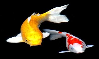 Free KOI Fish HD Live Wallpaper APK Download For Android | GetJar