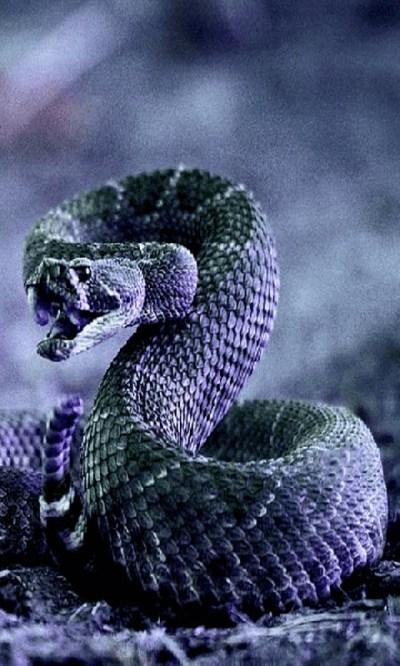 Free Cobra Snake Live Wallpaper APK Download For Android   GetJar