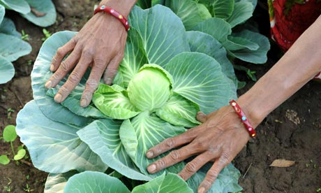MDG : India : An farm labourer displays a cabbage at the Sardar Patel organic farm