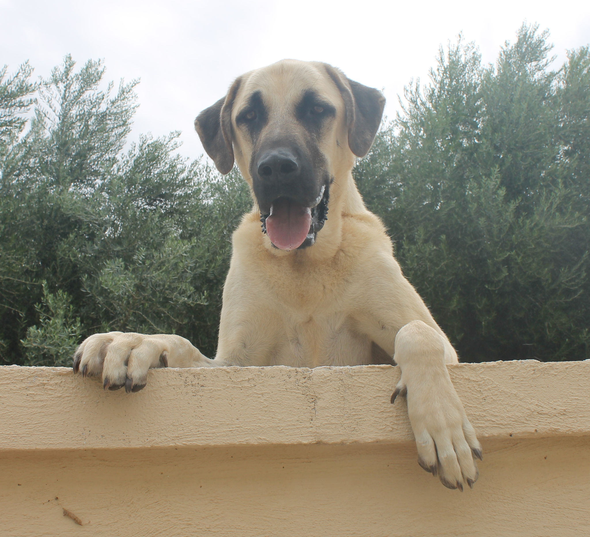 Beauteous Large A Kangal Dog Is Not A Good Dog Time Owners Hypoallergenic Dogs Thinking Time Owners A A Kangal Dog Will Very Large When Fully Grown To A Guard Dogs Experience bark post Best Dogs For First Time Owners