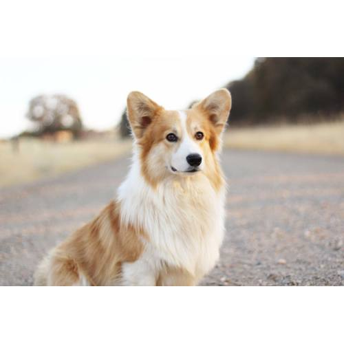 Medium Crop Of Corgi Mix Puppies For Sale